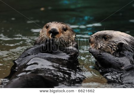 Otters Playing In Water