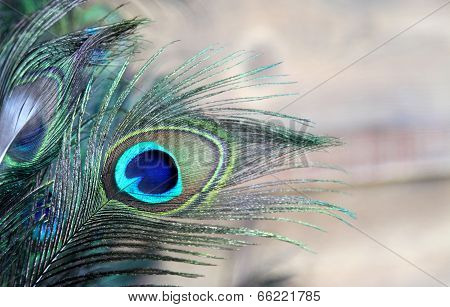 Blue Green Peacock Feather