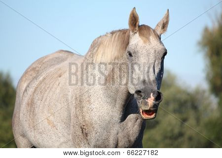 Funny Gray Horse Making Face