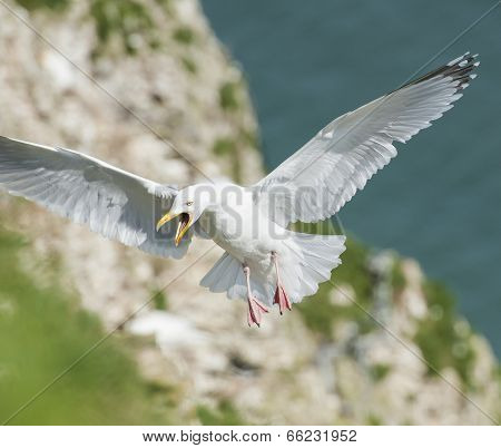 Herring Gull Seabird In Flight