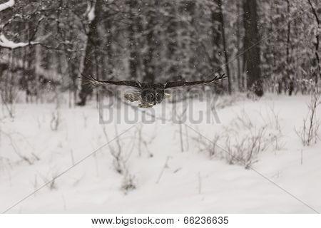Great Grey Owl in flight