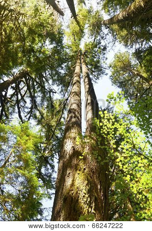 Looking up at tall fir trees in forest