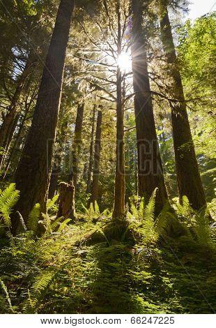 Sunburst shining through tall fir trees with ferns