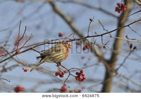 House finch: Carpodacus mexicanus