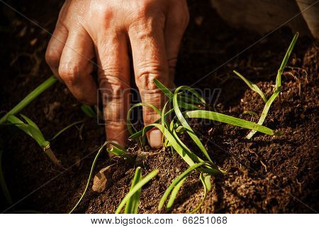 Female Hand Put Plants In The Garden.