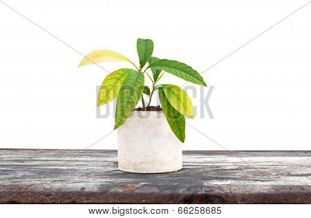 Homegrown Avocado Plant In The White Flowerpot On The Table Isolated Image