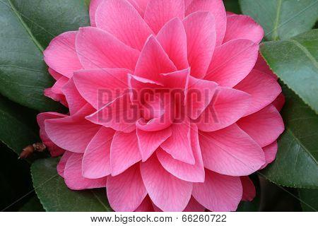 pink flower,Camellia tea flower