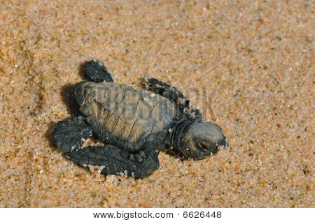 hatched leather back sea turtle