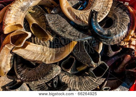 Polished Rams Horns,