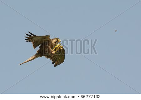 A Lanner Falcon (falco Biarmicus) Hunting Termites In Flight