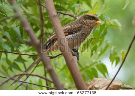 A Yellow-billed Shrike (corvinella Corvina) Perched In A Young Tree