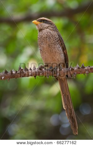 A Yellow-billed Shrike (corvinella Corvina) Perched On A Spiky Silk Cotton Branch