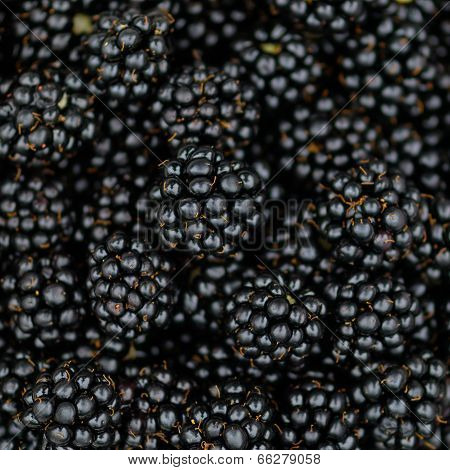 Bramble black berry background - Macro Square composition