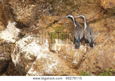 Spotted Shag Pair
