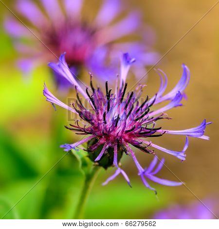 Blue Cornflower centaurea cyanus