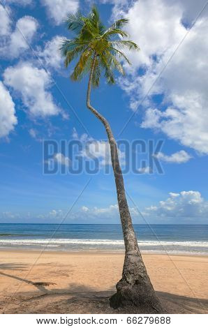 Tropical beach palm tree Trinidad and Tobago Maracas Bay