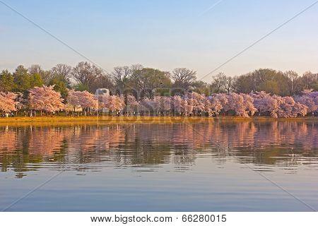 Cherry blossom at dawn around Tidal Basin Washington DC.