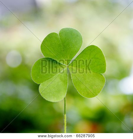 Shamrock-three Leaf Clover