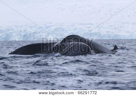 Humpback Whale Tail That Dives In Antarctic Waters
