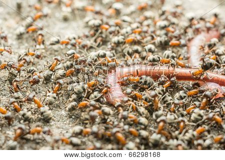 Swarm Of Ants Eating Earthworm