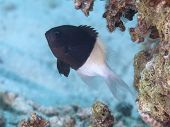 image of damselfish  - Chocolatedip chromis in Red sea Egypt Hurghada