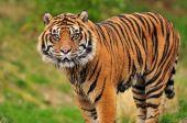 Постер, плакат: Суматранский тигр портрет