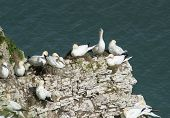 foto of gannet  - Flock of nesting wild Northern Gannets morus bassanus on cliff headland of english coastline - JPG