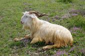 picture of goat horns  - Male goat with curved horns lying down on mountain meadow - JPG