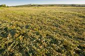 picture of alfalfa  - A view of an alfalfa field just cut Extremadura Spain - JPG