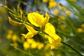 picture of scotch  - Closeup yellow flower latin name cytisus scoparius scotch broom - JPG
