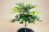 picture of ganja  - Cannabis female plant in flowerpot Indica dominant hybrid in flowering phase - JPG