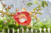 stock photo of cannonball-flower  - Canonball flower or Couroupita guianensis flower blooming on tree tree of buddha - JPG