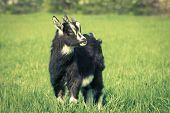 picture of cashmere goat  - Cute black goat kid grazing at the meadow - JPG