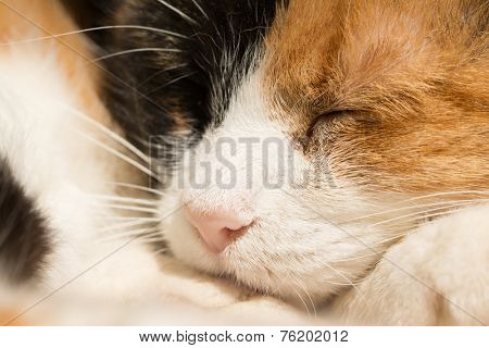 Closeup of a sleeping calico cat