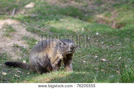 Alpine Marmot Standing In The Green Grass