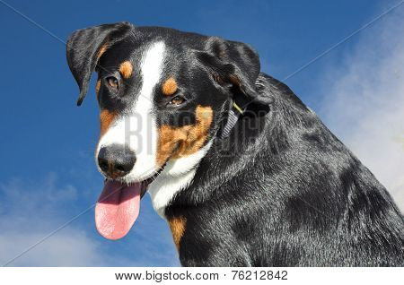 appenzell cattle dog against the blue sky