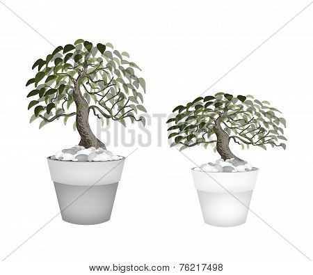 Two Beautiful Bonsai Tree in A Flower Pot