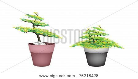 Two Beautiful Fir Tree in Flower Pots