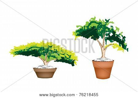 Two Evergreen Plant in Terracotta Flower Pot
