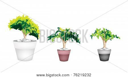 Three Evergreen Plant in Terracotta Flower Pot