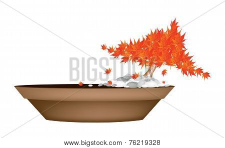 Beautiful Maple Bonsai in A Flower Pot