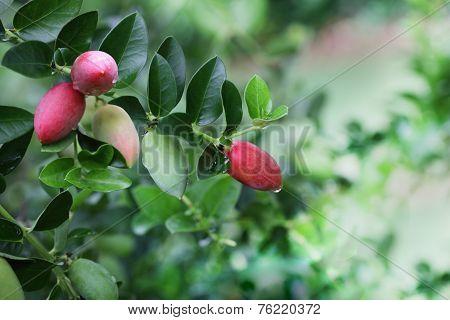 Carissa Grandiflora Fruit
