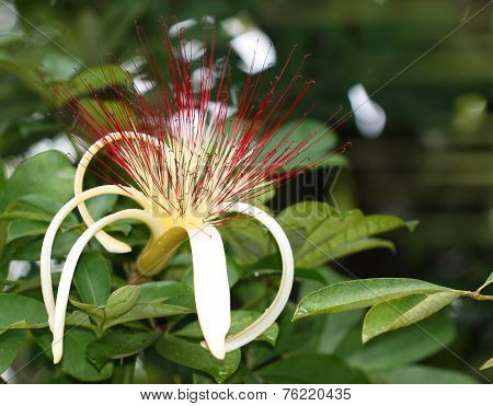 Guiana Chestnut Flower