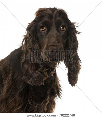 Close-up of a English Cocker Spaniel (8 months old)