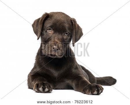 Mixed-breed Labrador & Husky puppy (9 weeks old)