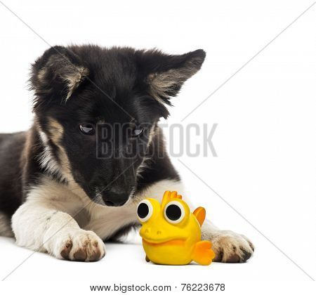 Border collie lying and looking at a toy