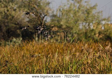 Flock Of Ring-necked Ducks Flying Through The Autumn Marsh
