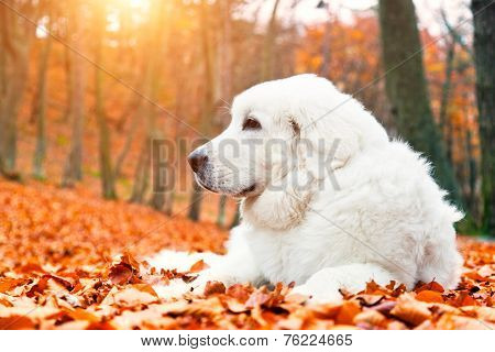 Cute white puppy dog lying in leaves in autumn, fall forest. Polish Tatra Mountain Sheepdog, known also as Podhalan or Owczarek Podhalanski