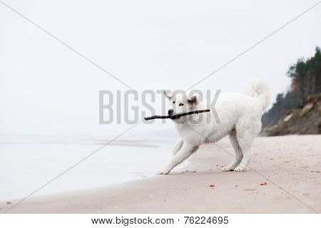 Cute white dog playing with stick on the beach. Polish Tatra Sheepdog, known also as Podhalan or Owczarek Podhalanski