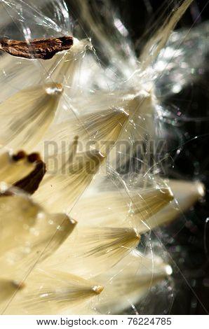 Milkweed Fibers Breaking Free Of The Pod
